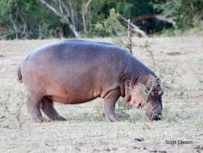 Hippo munching