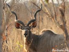 Kudu @ Hwange - credit