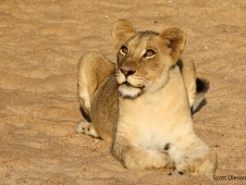 Lioness on the sand copy