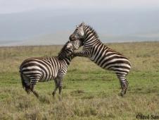 carol-saucier_-zebras-at-play-ngorongoro-crater