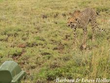 cheetah & beetle cam - credit