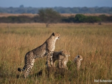 cheetah-family-south-africa-copy