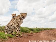 cheetahs beetle cam - credit