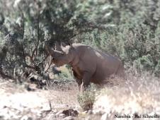 desert-rhino-namibia-copy