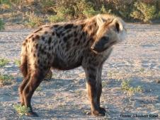 eliz_hyena