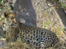 gallagher_leopard