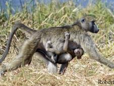 lee_baboons