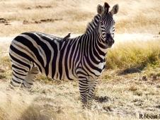 lee_zebra_edited-1