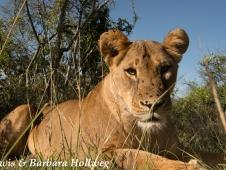 lion beetle cam 2 - credit