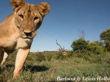 lion beetle cam- credit