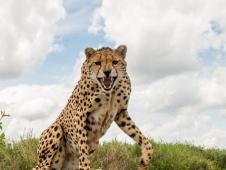 lone cheetah beetle cam - credit