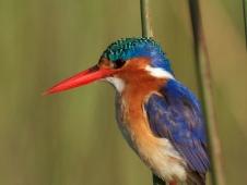 malachite_kingfisher