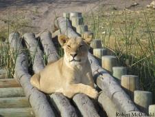 mcdonald_lioness