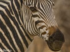 sandi-bosley_zebra