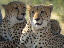 steiner_cheetah