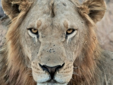 susan-peter_-lion-stare