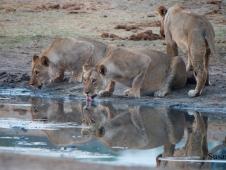susan-peter_lions-at-somalisa