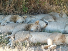 15Pile of lions