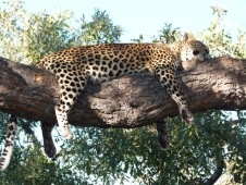 23leopard sleeping2