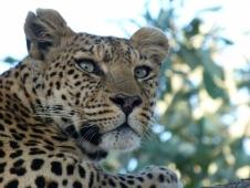 24leopard-eyes