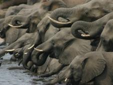botswana chobe elephants