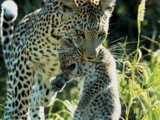 botswana leopard with cub