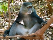 ER'11-Lake Manyara Blue Monkey