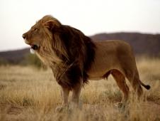 namibia-lion