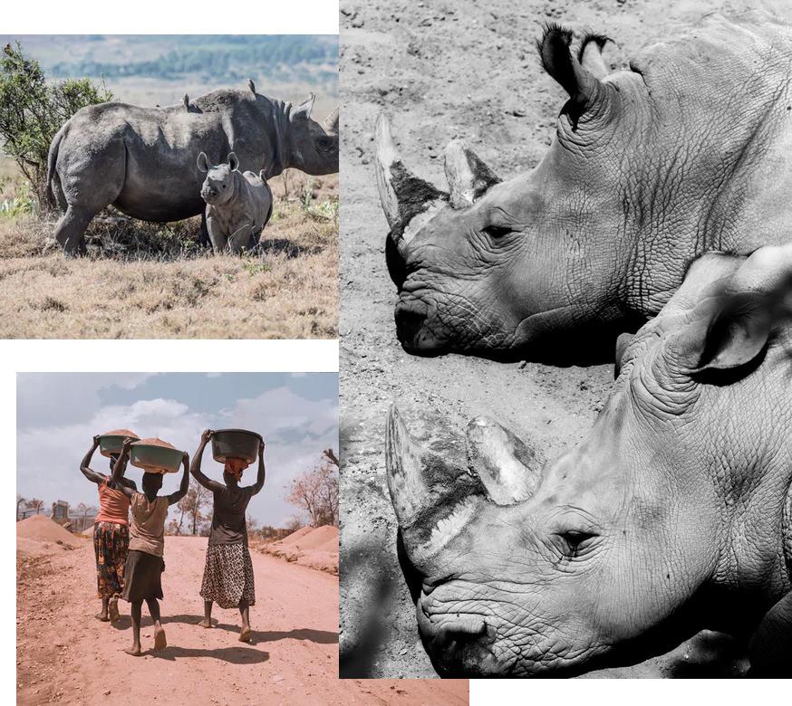 Rhinoceros roam the plains while on safari